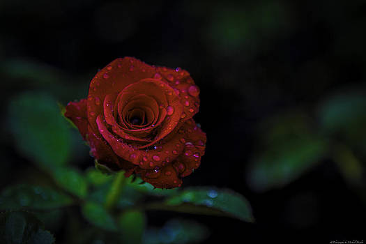 Red Rose by Michael Touchet