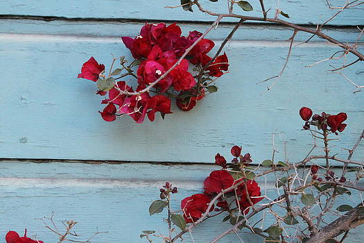 Red Rose Old Siding by Claudia Stewart
