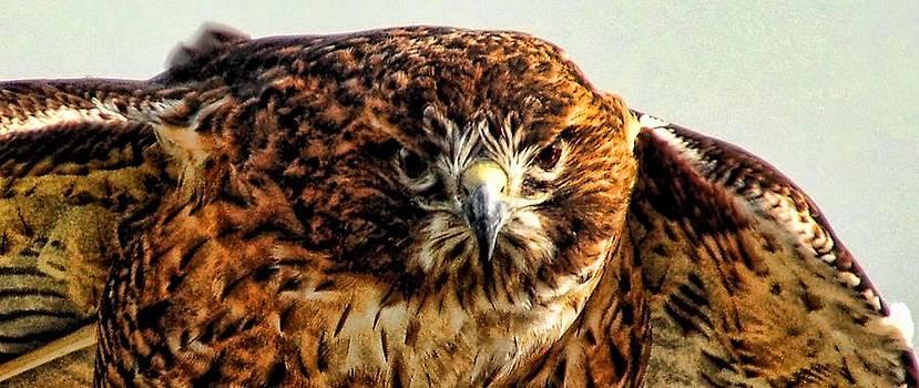Red Shoulder Hawk by Janet Maloy