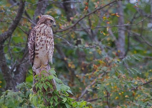 Red-shouldered Hawk by Diane Porter