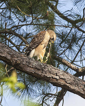 Red Shouldered Hawk Eating by Ralph Brannan