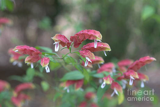 Red Shrimp Plant by Liane Wright