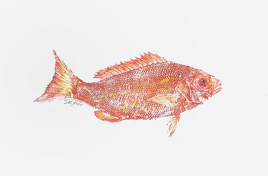 Red Snapper Against White Background by Nancy Gorr
