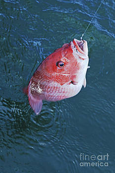 Red Snapper Fishing  by Luana K Perez