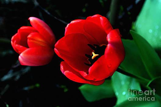 Gwyn Newcombe - Red Spring Tulip