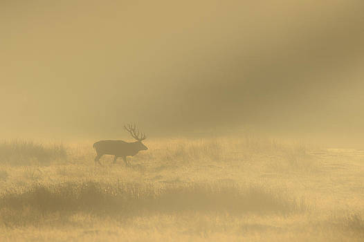 Red Stag by Andy Astbury
