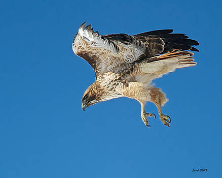 Red Tail Hawk Dropping Out by Stephen  Johnson