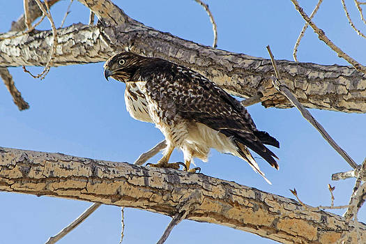 Red Tail Hawk in Cottonwood Tree by Stephen  Johnson