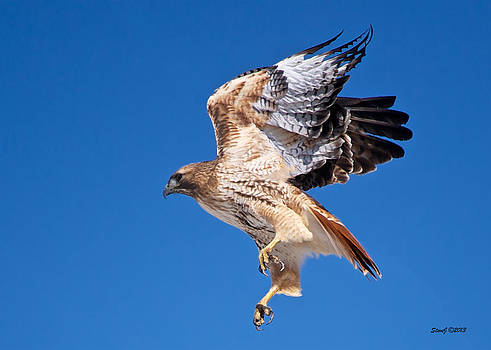 Red Tail Hawk Lift Off by Stephen  Johnson