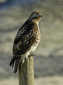 Red tail Hawk On A Post by David Marr