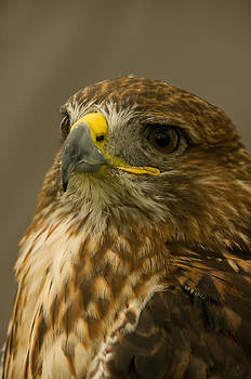 I'm So Proud - Red Tailed Hawk by Jacqi Elmslie