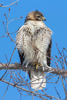 Red Tailed Hawk by Laurel Butkins