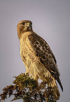 Red-teiled Hawk by Robert Mitchell