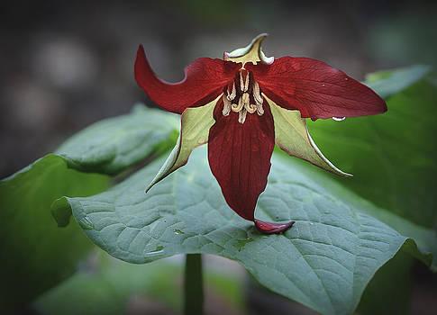 Jack R Perry - Red Trillium