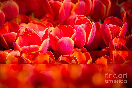 Sonja Quintero - Red Tulip Blend