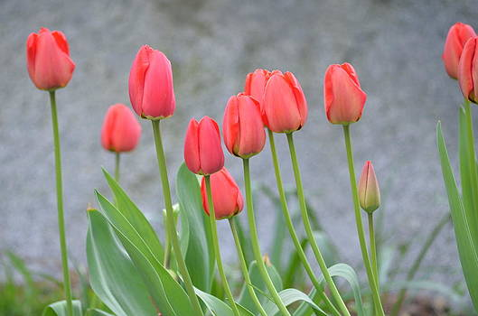 Red Tulips by Emelyn McKitrick