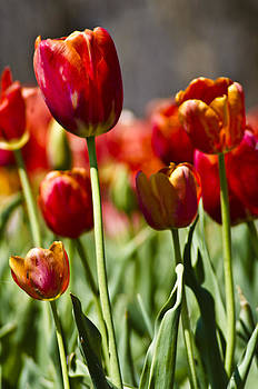 Tulips-Flowers-Red Tulips by Matthew Miller