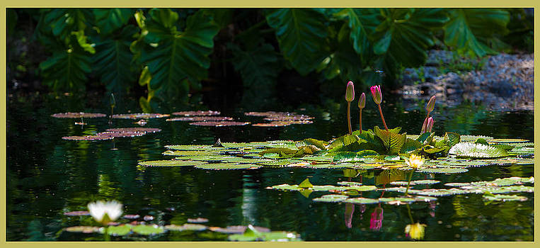 Red Water Lily in a tropical pond by Julio Solar
