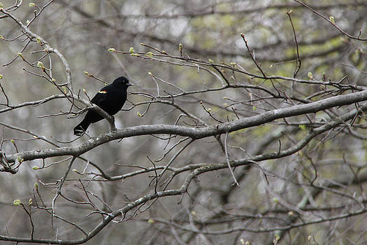 Adrienne Franklin - Red Winged Black Bird