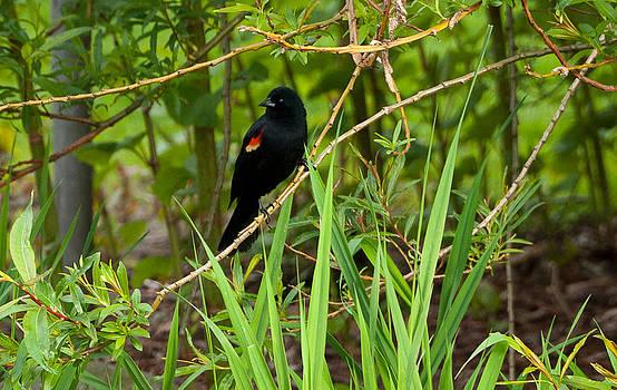 Red-Winged Black Bird by Dirk Lightheart