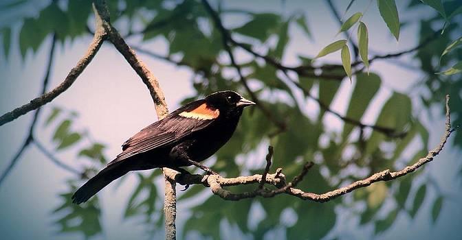 Rosanne Jordan - Red Winged Black Bird