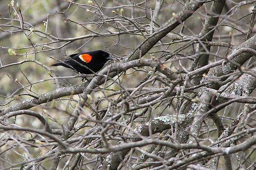 Adrienne Franklin - Red Winged Blackbird 2