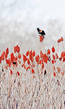 Steven Ralser - red winged blackbird on sumac