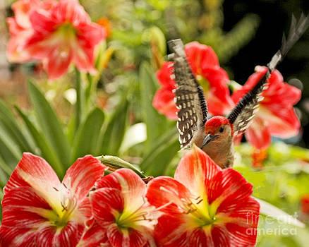 Redbelly Woodpecker Landing In Spring Garden by Luana K Perez