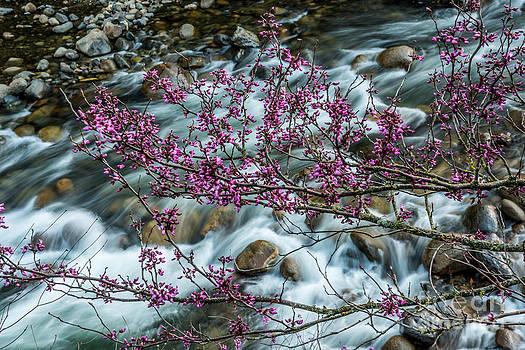 Redbud in Bloom by Daniel Ryan