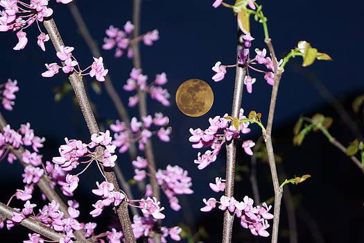 Redbud Moon by Tina Stoffel