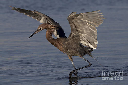 Reddish Egret Fishing by Meg Rousher
