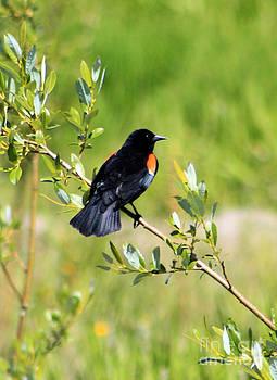 Nick Gustafson - Redwinged Blackbird