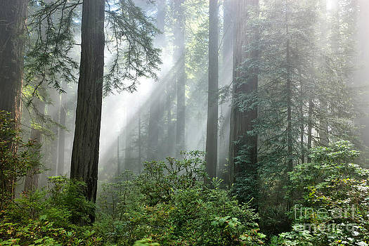 Inga Spence - Redwood Forest With Sunbeams