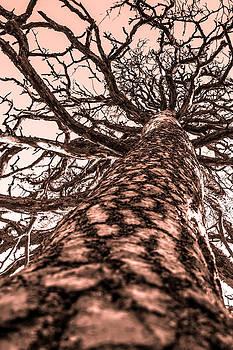 Redwood by Matti Ollikainen
