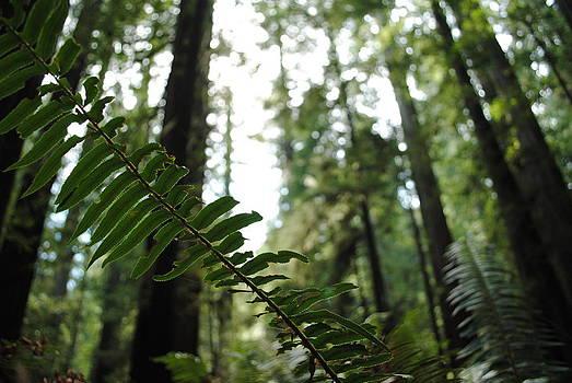 Redwoods by Melissa Pollock
