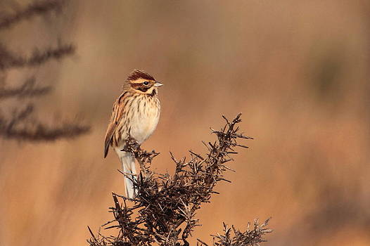 Reed Bunting by Peter Skelton