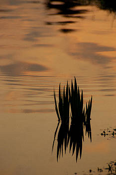 Reeds at Sunset by Gina Harmeyer