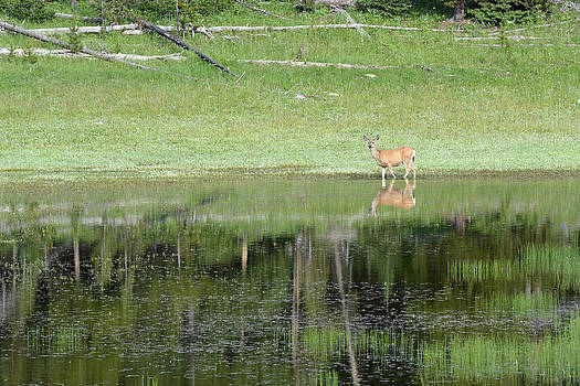 Reflective Deer in Yellowstone's Divide Lake by Bruce Gourley