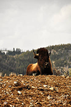 Birches Photography - Resting Bull