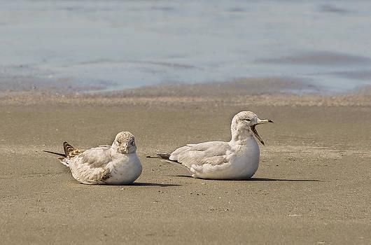 Resting Gulls by Robert Mitchell