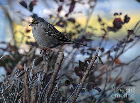 Resting Sparrow by Marjorie Imbeau