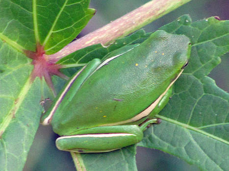 Resting Tree Frog by Making Memories Photography LLC