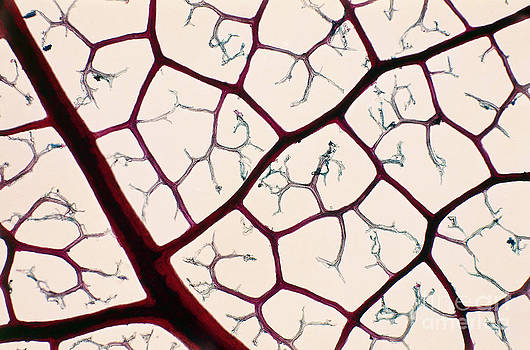 De Agostini Picture Library - Reticulation Of Leaf Veins Lm