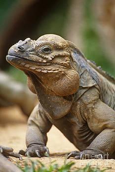 Art Wolfe - Rhinoceros Iguana
