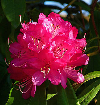 Margaret Saheed - Rhododendron Glow