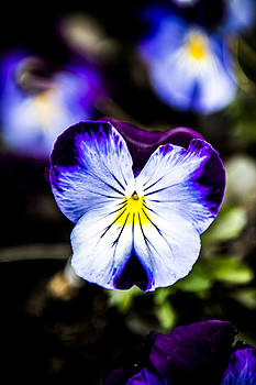 Rich Pansy by Courtney DeGregorio