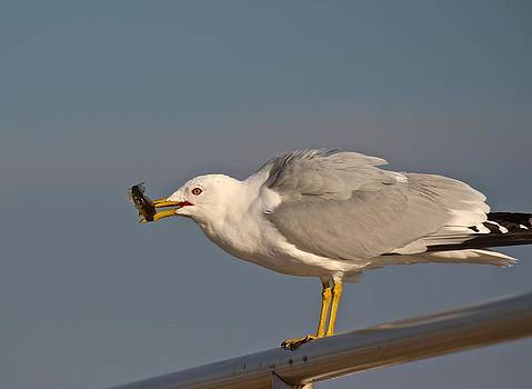 Ring-Billed Gull with Fish by John Dart