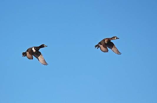 Ring-Necked Duck Pair by John Dart