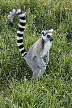 Michele Burgess - Ring-Tailed Lemur