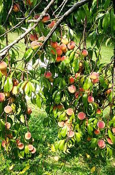 Ripe Peaches by Emily Lambert